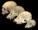 primate_skull_series.png