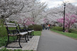 Cherry_Blossom_in_Branch_Brook_Park,_NJ_-_2012
