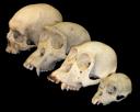 primate_skull_series.png