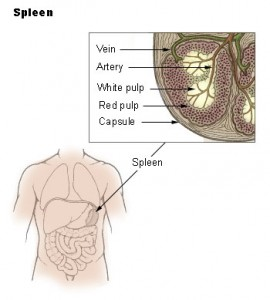 When and How Should We Examine the Spleen?